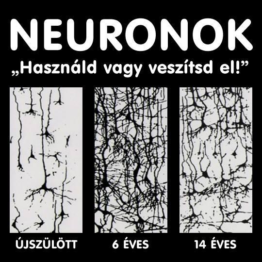 Az idegrendszer fejlődési szakaszai